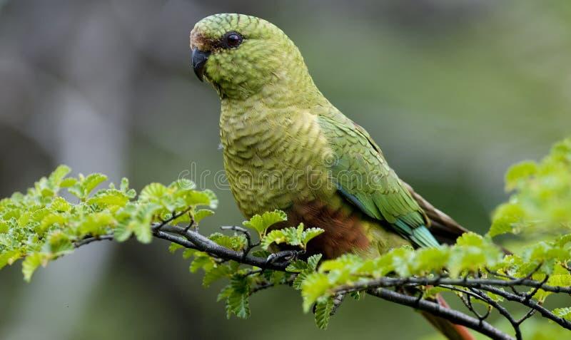 parakeet obraz stock