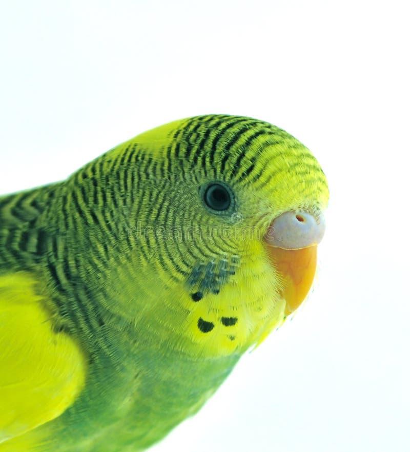 Free Parakeet Royalty Free Stock Images - 13178149