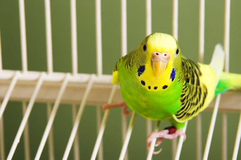 Parakeet fotografia stock