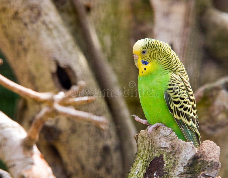 parakeet photo stock