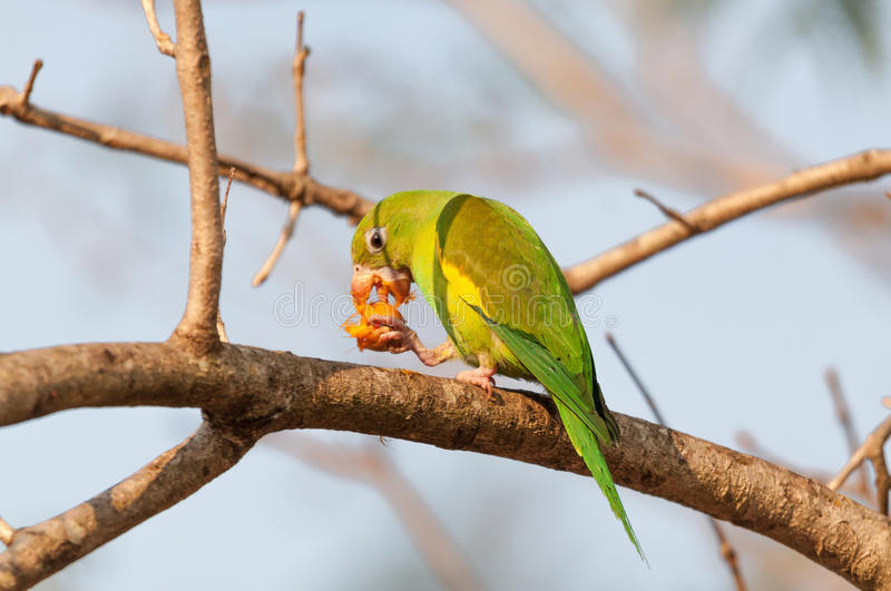 Parakeet bird with open beak and eating a fruit. The bird is holding the fruit with a paw. Beautiful green bird royalty free stock images