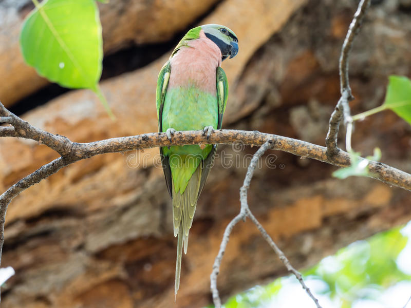 Parakeet bird perched on tree`s branch. Parakeet bird hang on tree waiting its couple royalty free stock images