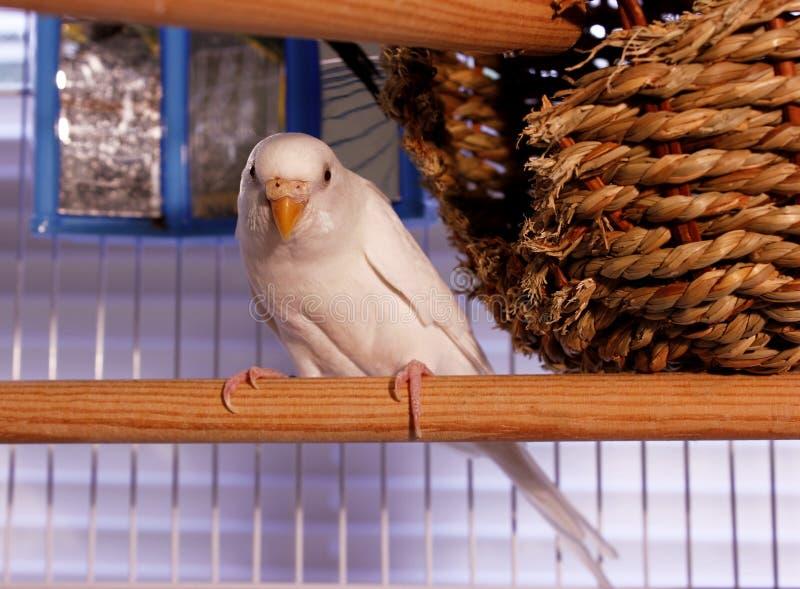 Parakeet blanco de Budgie fotografía de archivo