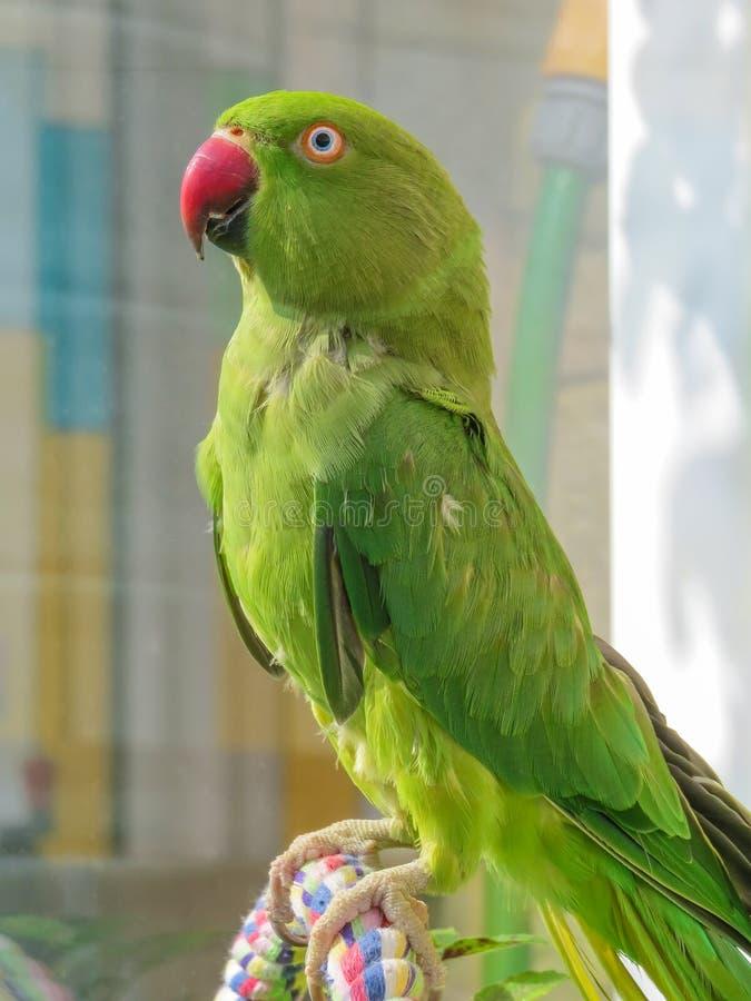 Parakeet blu Pappagallo verde con il becco rosso immagine stock