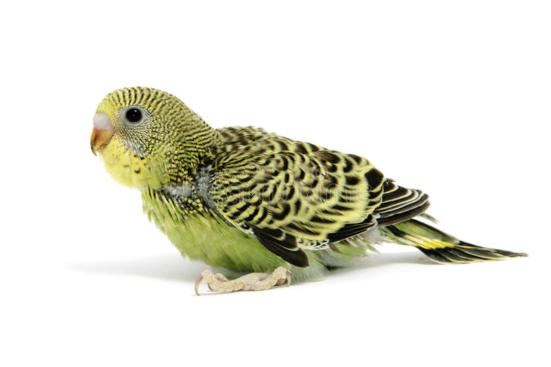 Parakeet breeding royalty free stock image