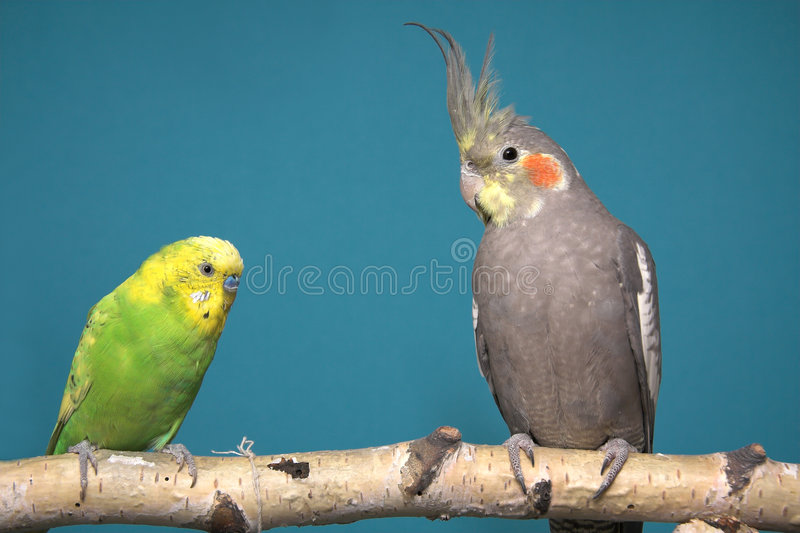 Parakeet and Cockatiel stock photography