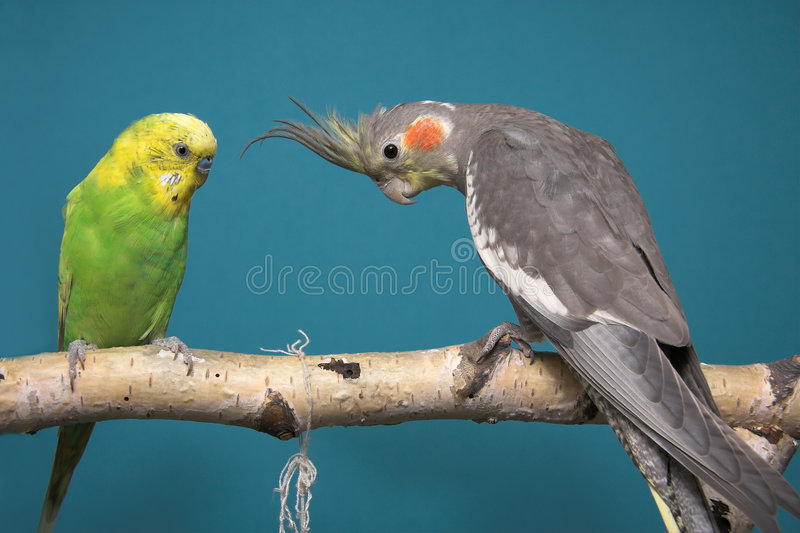 Parakeet and Cockatiel royalty free stock photography