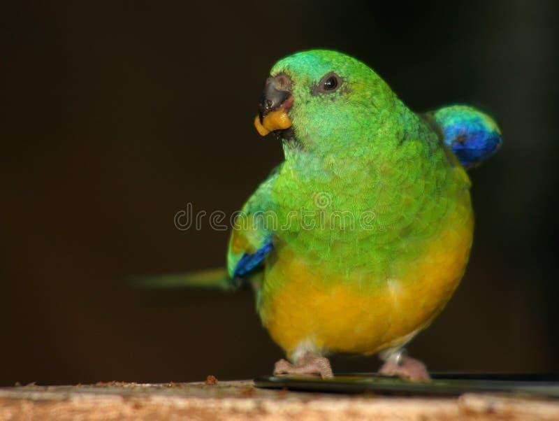 Parakeet colorido foto de stock royalty free