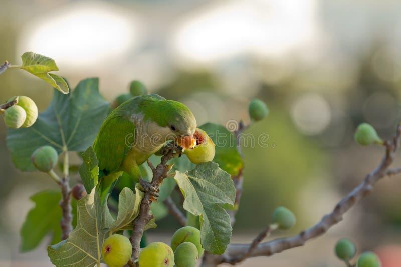 Parakeet da monge (Myiopsitta Monachus) fotos de stock royalty free