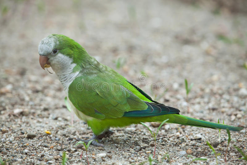 Parakeet da monge (Myiopsitta Monachus) fotografia de stock royalty free