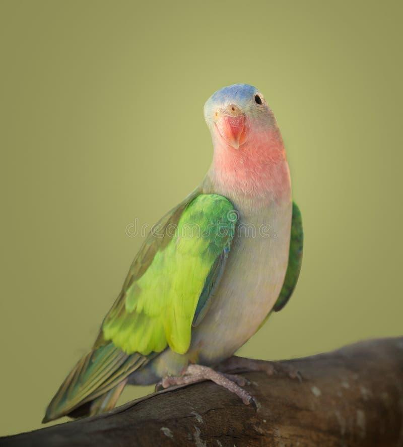 Parakeet da princesa imagem de stock royalty free