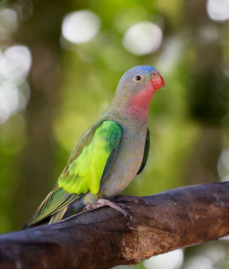 Parakeet da princesa foto de stock royalty free
