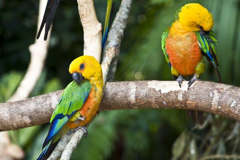 Parakeet de Jandaia, papagaio de Brasil fotos de stock royalty free