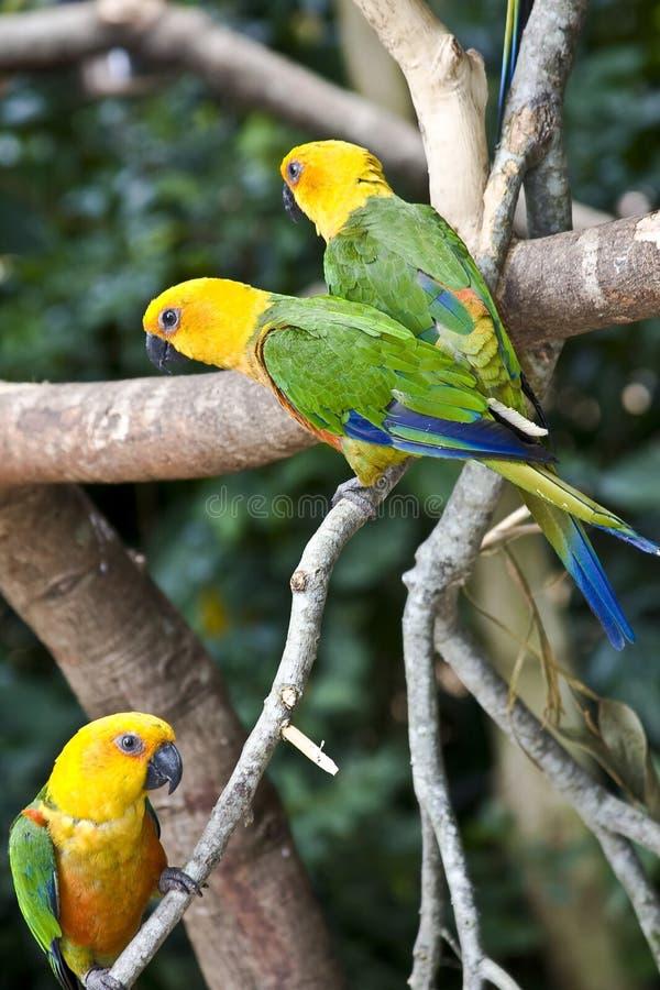 Parakeet de Jandaya, loro del Brasil imágenes de archivo libres de regalías