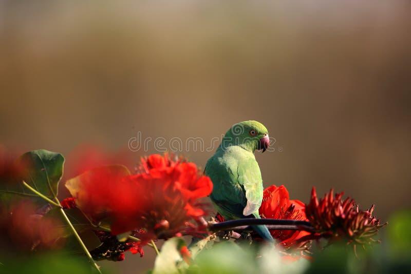 parakeet royalty-vrije stock afbeeldingen