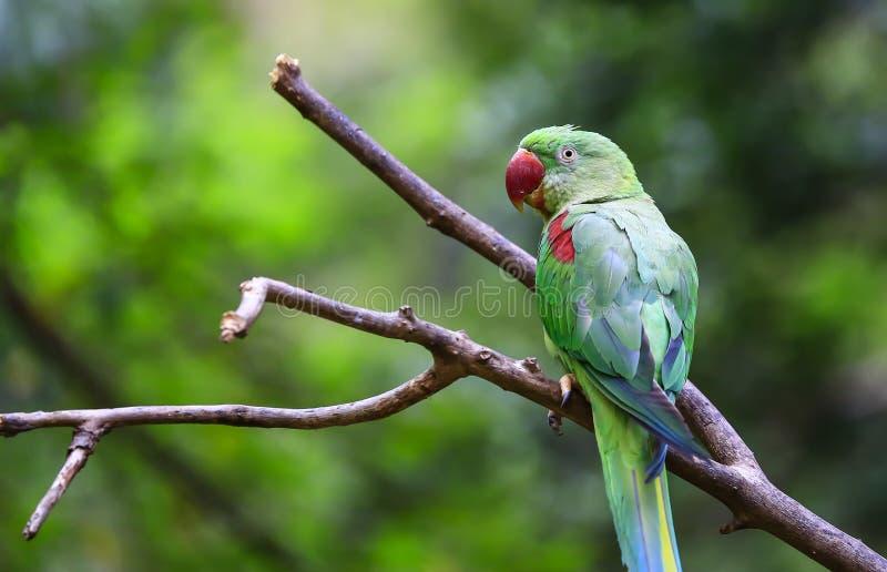 Pássaro de peito encarnado do parakeet fotografia de stock