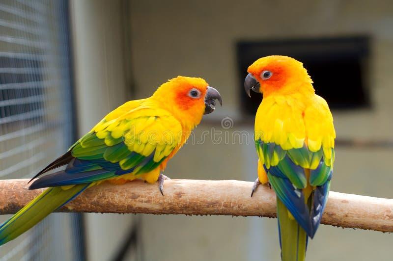 Parakeet de Sun. Solstitialis de Aratinga fotos de stock