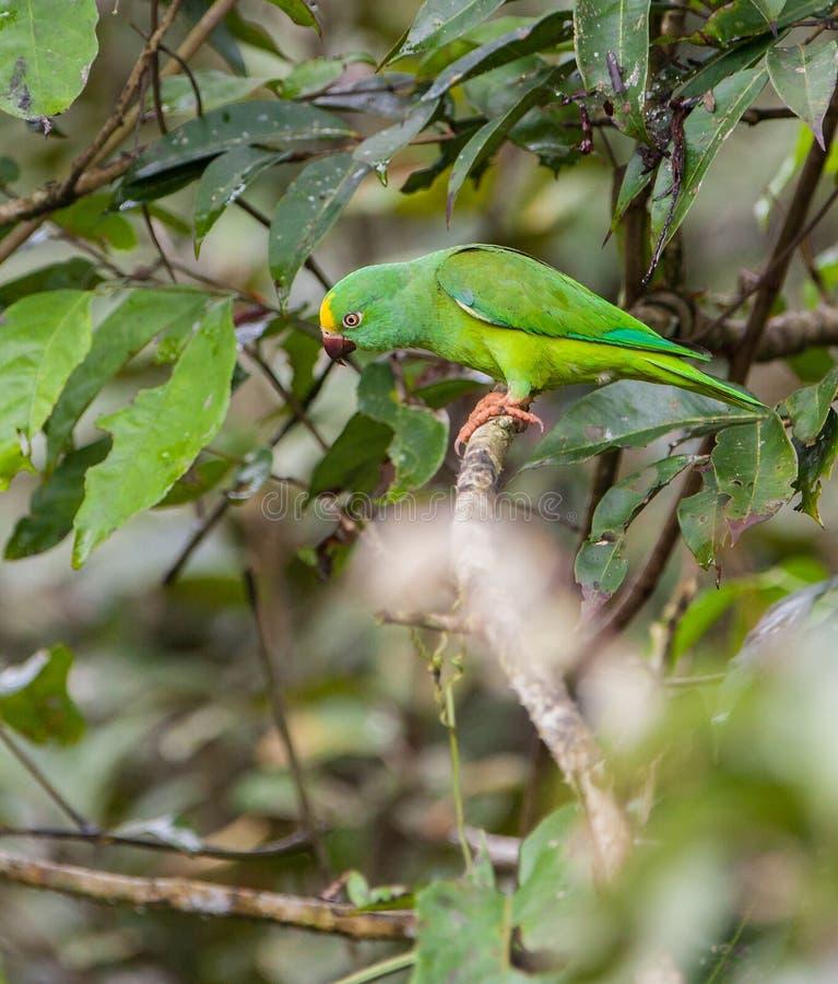 Parakeet de Tui fotografia de stock royalty free