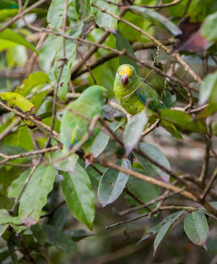 Parakeet de Tui imagens de stock