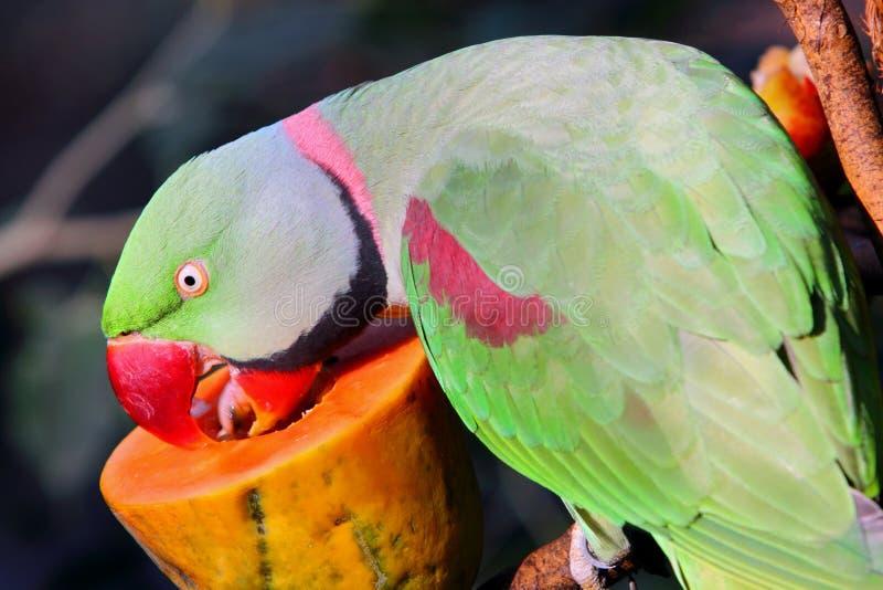 Parakeet do Alexandrine imagem de stock