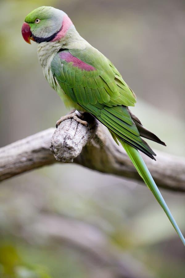 Parakeet do Alexandrine (eupatria do Psittacula) foto de stock