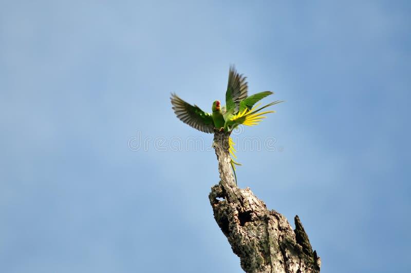 Parakeet do Alexandrine (pássaro) fotografia de stock