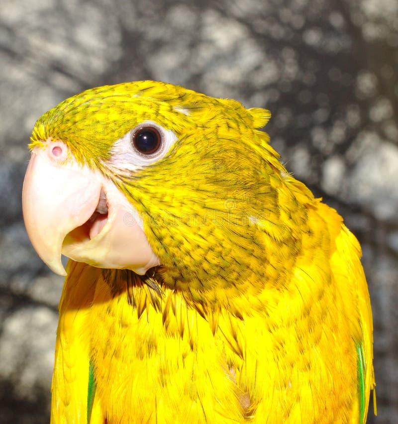 Parakeet dourado foto de stock