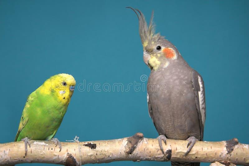 Parakeet e Cockatiel fotografia de stock