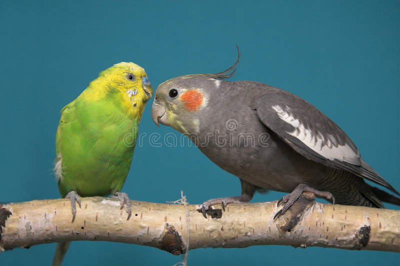 Parakeet e Cockatiel foto de stock