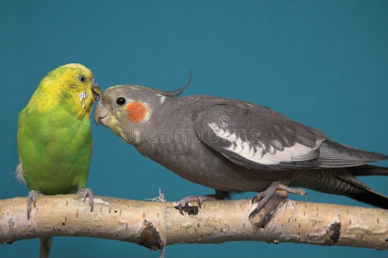 Parakeet e Cockatiel fotos de stock