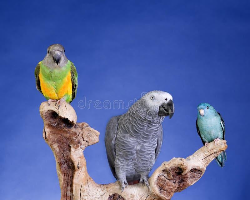 Parakeet e papagaio de Senegal imagem de stock royalty free