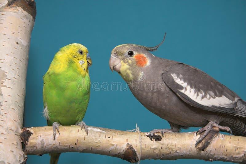 Parakeet et Cockatiel photos stock