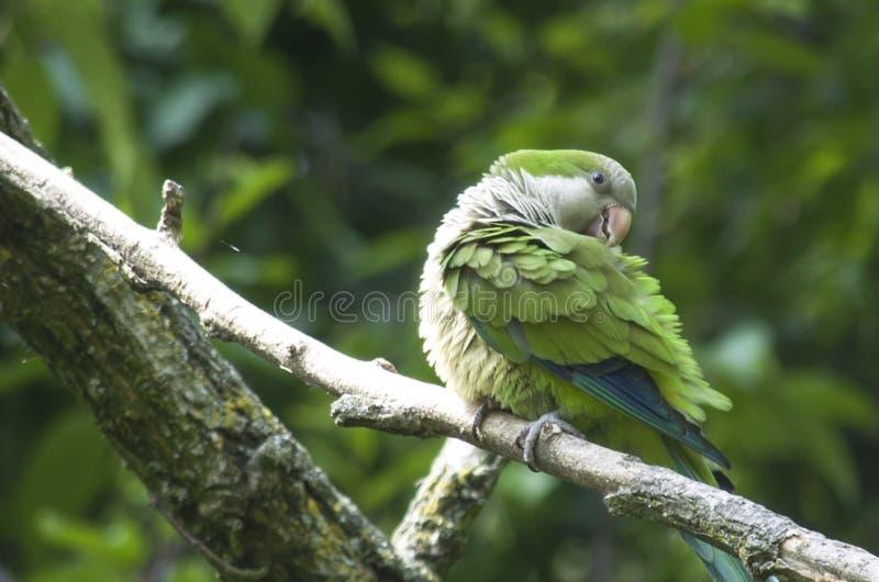 Parakeet na gałąź obraz royalty free