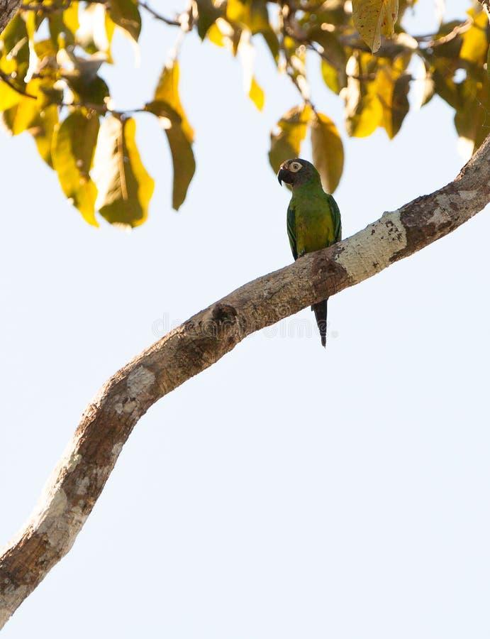 Parakeet Obscuro-dirigido foto de stock royalty free