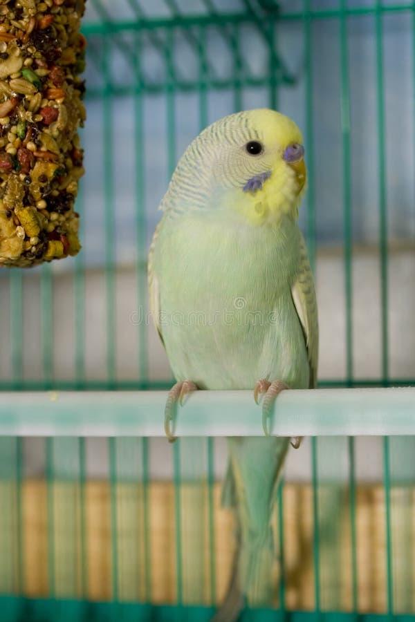 Parakeet opalino diluído foto de archivo libre de regalías