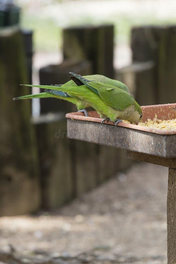 Parakeet papuga na swój żerdzi zdjęcia royalty free
