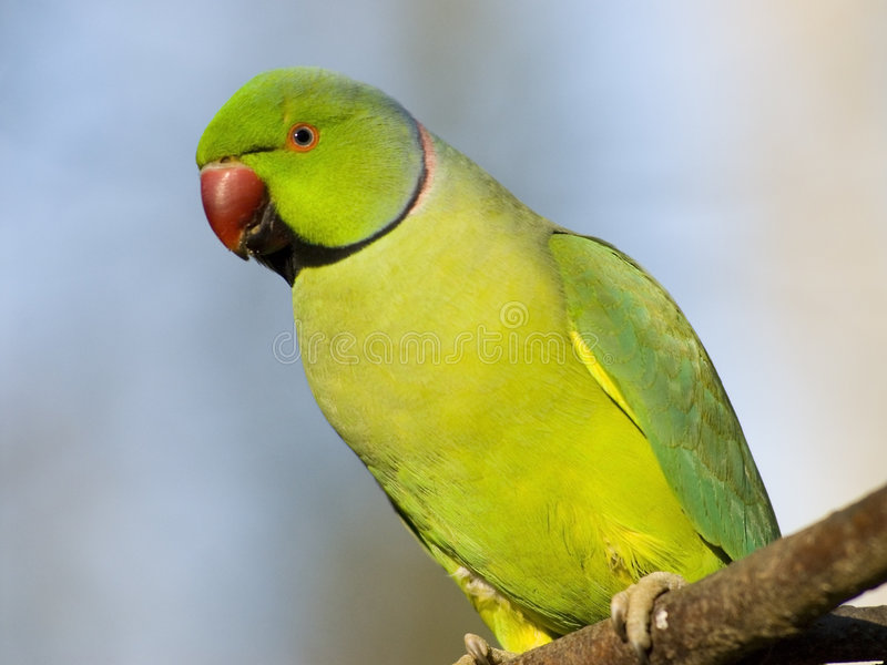 Parakeet Rosa-rodeado do retrato fotos de stock