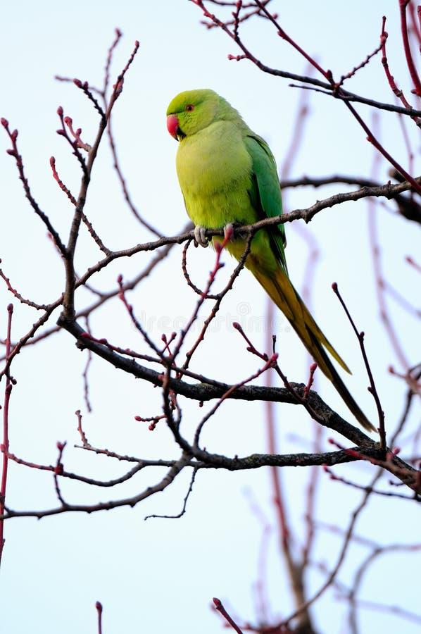 Parakeet Rosa-rodeado selvagem em Londres ocidental fotografia de stock royalty free