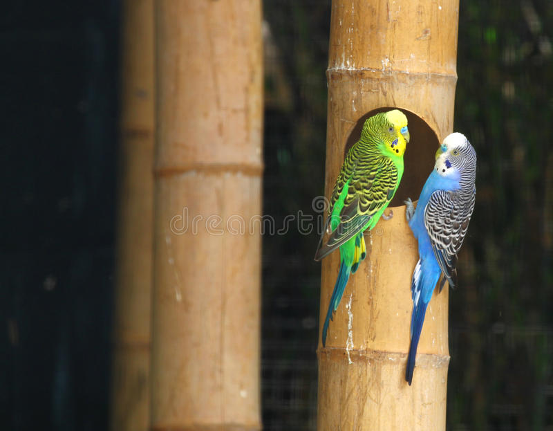 Parakeet (s) photo libre de droits