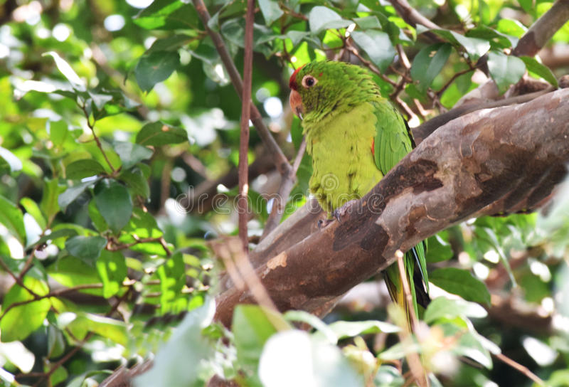 Parakeet on the tree branch. stock image