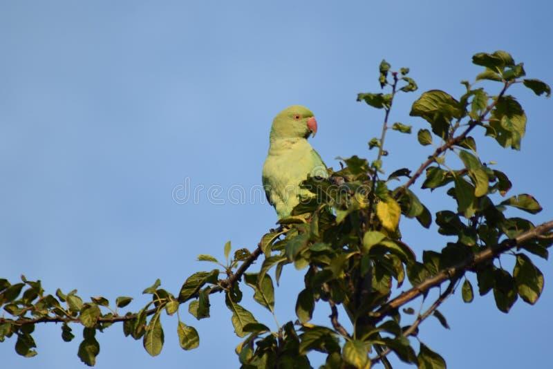 Parakeet umieszczający wysoko na drzewie obraz stock