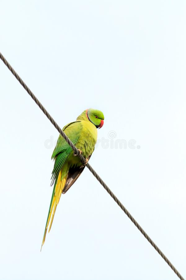 Parakeet verde imagens de stock royalty free