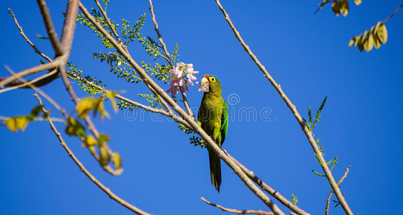 Parakeet verde foto de stock
