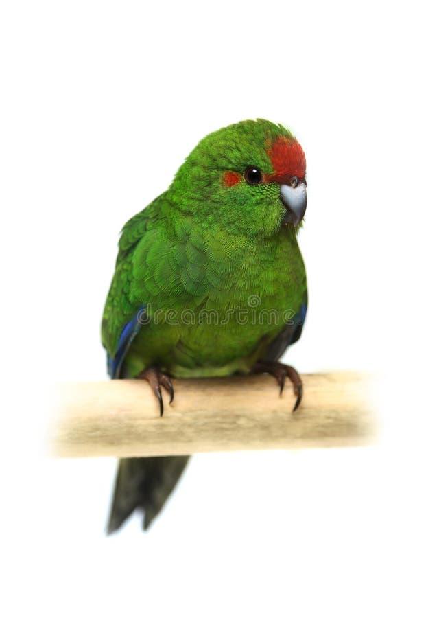 parakeet Vermelho-fronteado de Kakariki no branco fotos de stock royalty free