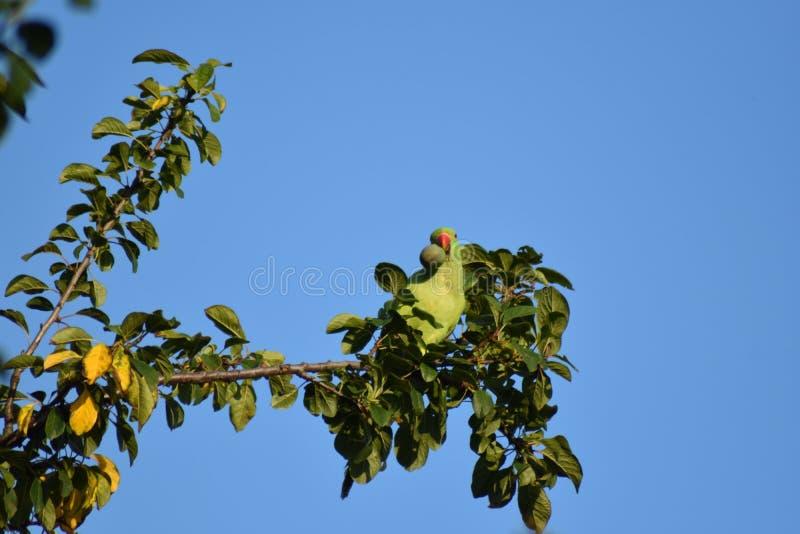 Parakeet w śliwkowym drzewie zdjęcie stock