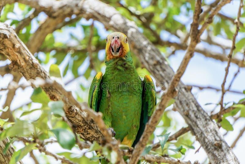 Parakeet w drzewie obraz royalty free