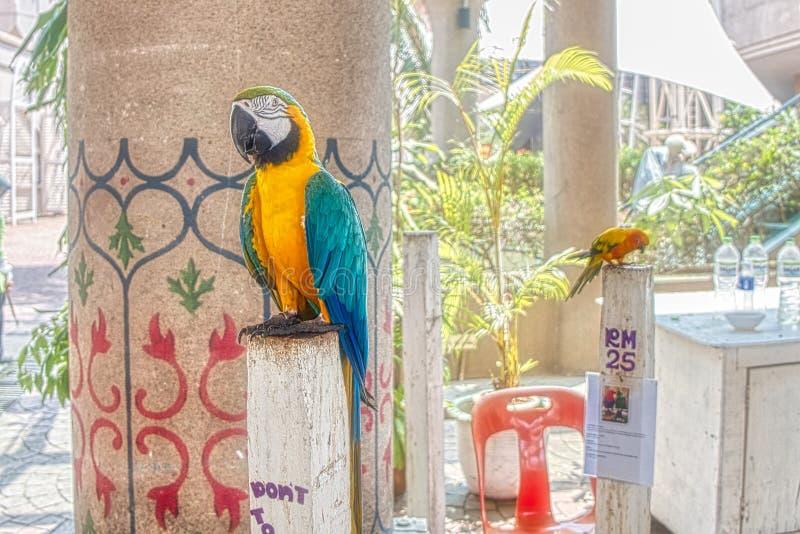 Parakeet zwierzę domowe w Malezja obrazy royalty free