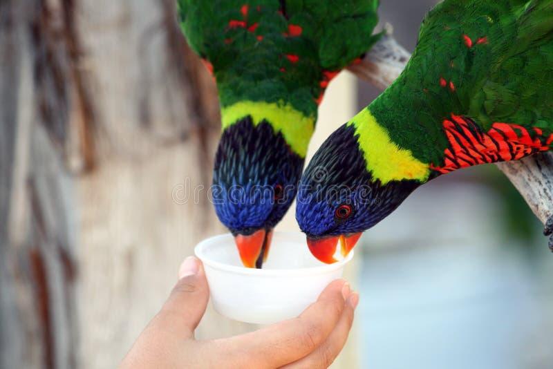 Parakeets fotografie stock