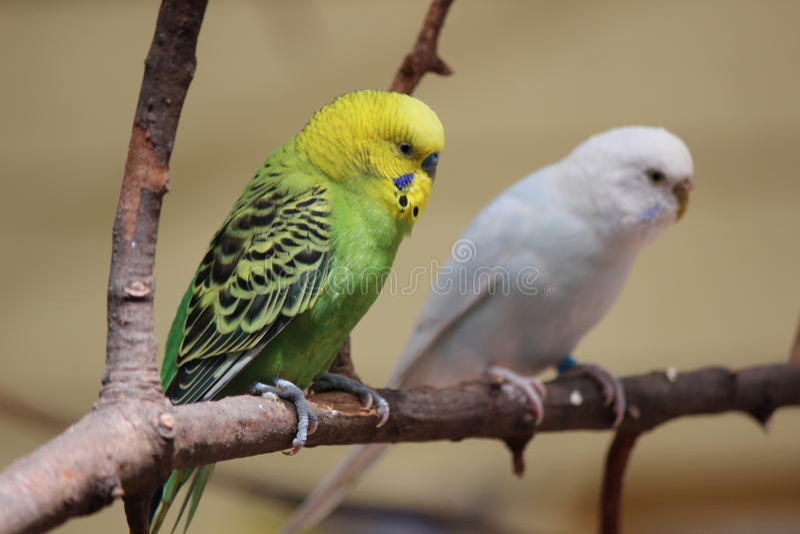 parakeets stockbild