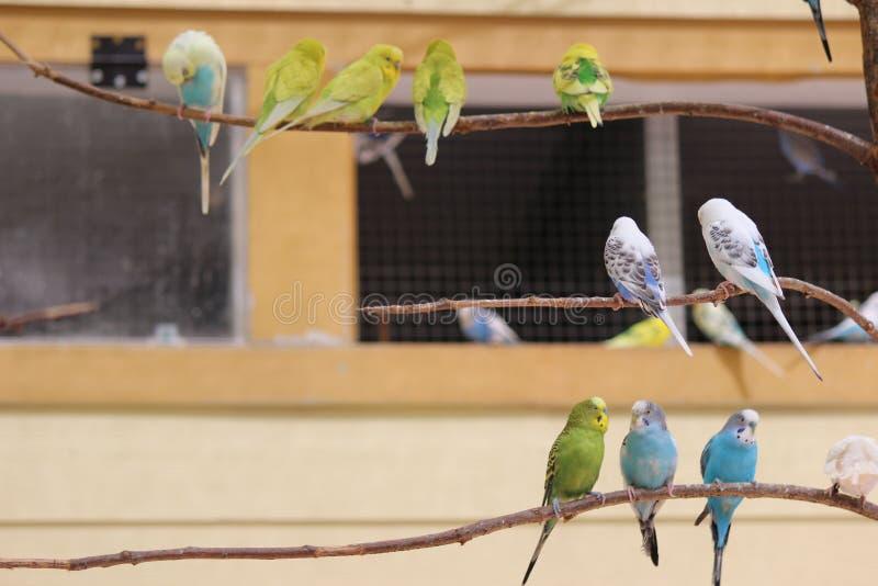 parakeets stockbilder